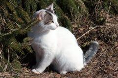 Gatto ed abete rosso. guardi indietro. Fotografie Stock