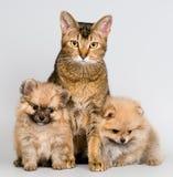 Gatto ed i cuccioli del spitz-cane Immagine Stock