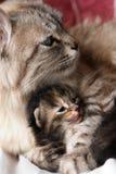 Gatto ed il suo gattino Immagini Stock