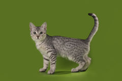 Gatto egiziano in studio isolato Fotografia Stock