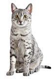 Gatto egiziano sveglio di Mau Fotografia Stock