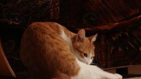 gatto egli stesso che lecca stock footage