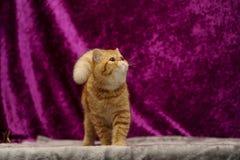 Gatto esotico Fotografia Stock