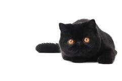 Gatto esotico nero del gattino dello shorthair Fotografie Stock Libere da Diritti
