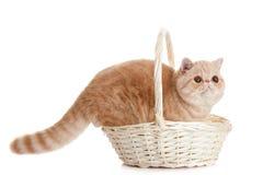 Gatto esotico persiano del gatto isolato con il cestino della spesa Fotografia Stock