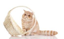 Gatto esotico persiano isolato con il cestino della spesa Fotografia Stock Libera da Diritti