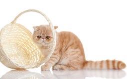 Gatto esotico persiano isolato con il cestino della spesa Immagini Stock Libere da Diritti