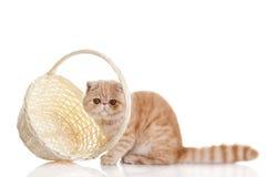 Gatto esotico persiano isolato con il cestino della spesa Fotografia Stock