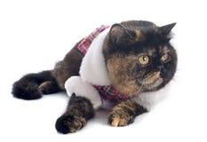 Gatto esotico vestito dello shorthair fotografia stock libera da diritti