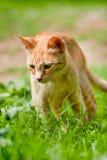 Gatto esterno greco rosso in natura Fotografia Stock