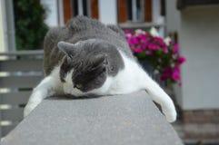 Gatto europeo bianco e grigio sul balcone Fotografie Stock Libere da Diritti