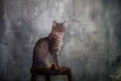 Gatto europeo del maschio del soriano fotografie stock libere da diritti