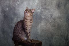 Gatto europeo del maschio del soriano immagini stock libere da diritti