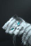 Gatto eyed blu Immagine Stock