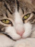 Gatto eyed colore giallo Immagine Stock