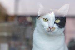 Gatto eyed colore giallo sguardo del gatto tramite lo specchio Gatto tailandese sveglio Fotografia Stock