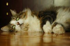 Gatto felice sul pavimento Fotografie Stock Libere da Diritti