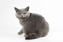 Gatto femminile britannico blu Immagini Stock Libere da Diritti