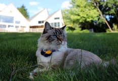 Gatto femminile dei bei occhi azzurri, gatto ipoallergenico Animale che può essere animale domestico dalla gente che è allergica  fotografie stock