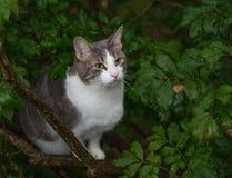 Gatto femminile grigio e bianco in un albero Immagini Stock Libere da Diritti