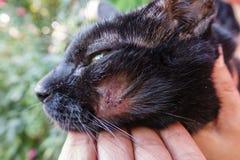 Gatto ferito Fotografia Stock Libera da Diritti