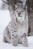 Gatto fiero del lince che si siede nella neve Fotografie Stock Libere da Diritti