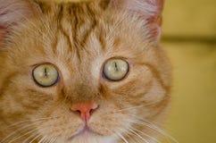 Gatto, fine in su Immagine Stock Libera da Diritti