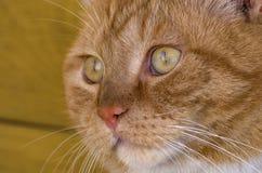 Gatto, fine in su Fotografie Stock Libere da Diritti