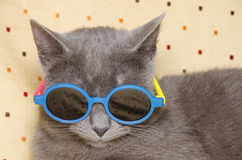Gatto fresco con gli occhiali da sole Immagine Stock