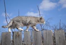 gatto Fumoso-grigio Immagini Stock Libere da Diritti