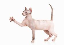 Gatto Gattino dello sphynx di Don su fondo bianco Immagine Stock