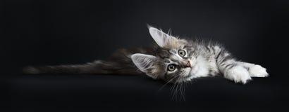 Gatto/gattino pigri di Maine Coon Fotografie Stock Libere da Diritti