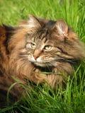 Gatto (gatto norvegese della foresta) nell'erba, Fotografie Stock Libere da Diritti