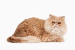 Gatto Gatto persiano rosso su priorità bassa bianca Fotografia Stock