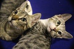 Gatto gemellato immagine stock
