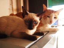 gatto gemellato tailandese Fotografia Stock Libera da Diritti
