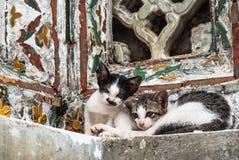 Gatto gemellato, Tailandia Fotografia Stock