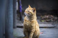 Gatto giallo Immagine Stock