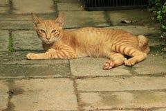 Gatto giallo Fotografia Stock