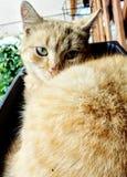 Gatto giallo Fotografie Stock Libere da Diritti