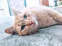 Gatto giallo Fotografie Stock