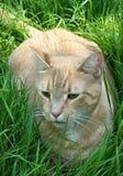 Gatto giallo cuoio nell'erba Immagini Stock
