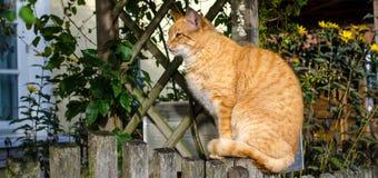 Gatto giallo-marrone Fotografia Stock