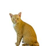 Gatto giallo su priorità bassa bianca Fotografia Stock