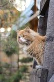 Gatto giallo su una scala di legno Immagine Stock Libera da Diritti