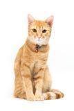 Gatto giallo tailandese Fotografia Stock