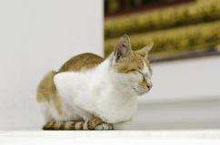 Gatto giallo in tempio tailandese Fotografia Stock