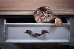 Gatto Gli Scottish piegano il gattino sulla tavola di legno e sul backgroun strutturato Immagini Stock