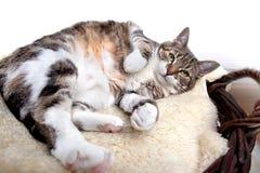 Gatto grasso Fotografie Stock