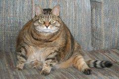 Gatto grasso Immagini Stock